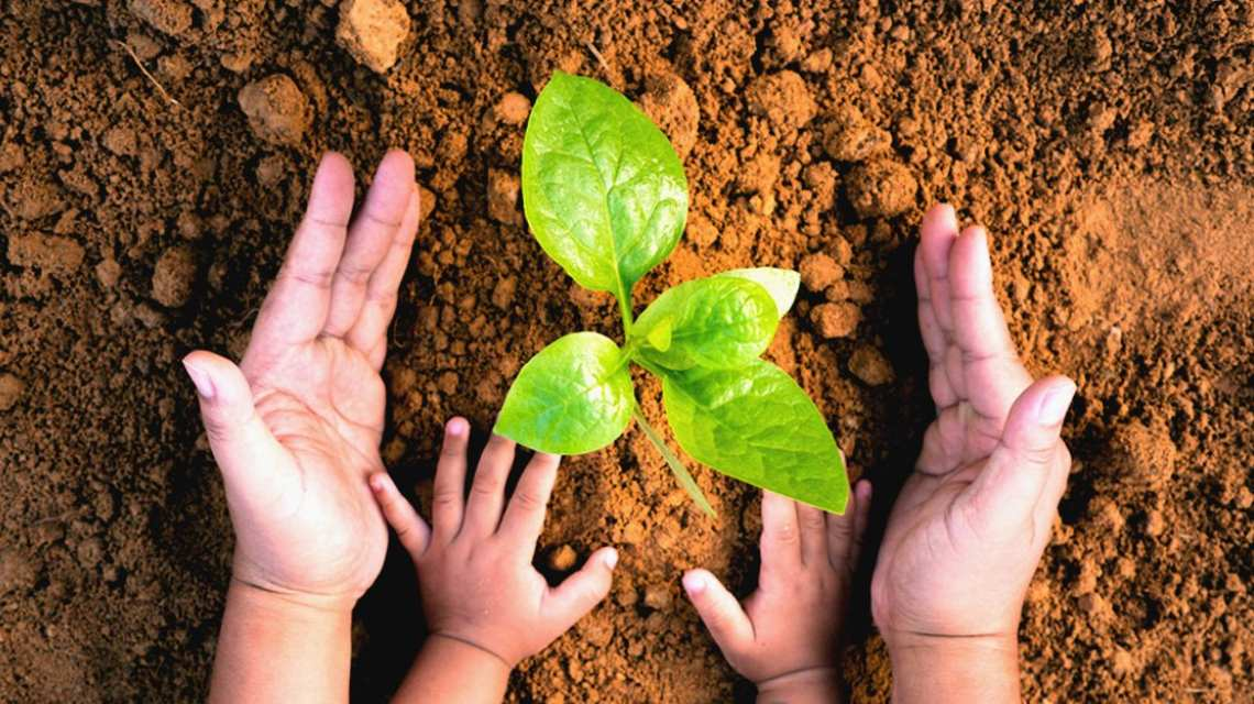 Hands in the dirt around a plant.