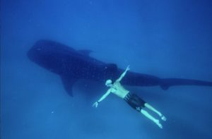 John McCarthy free diving with whale shark