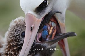 Albatross chick being fed plastics.