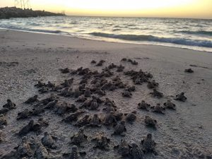 Hawksbill hatchlings making their way to the Gulf of Mexico.